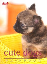 cute dogs13 チワワ
